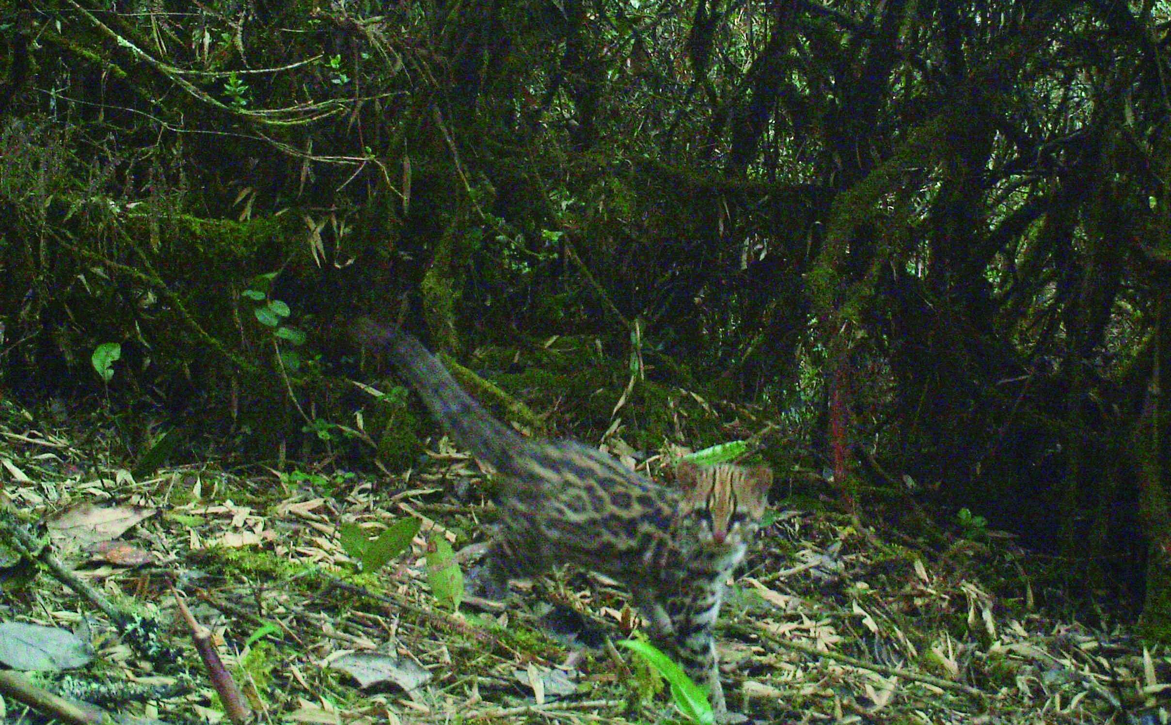 Tigrillo lanudo, Leopardus tigrinus